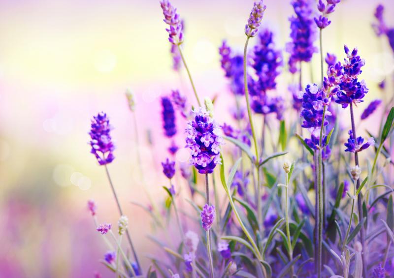 Lavendel mooigezond voeding en leefstijl